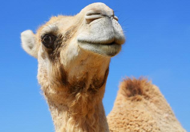 9-camel_000013946726_Small