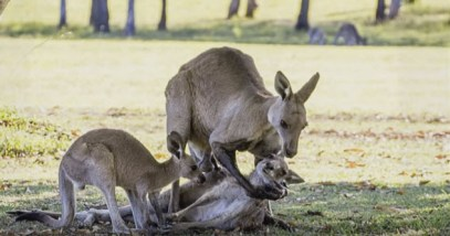 feature-viral-kangaroo