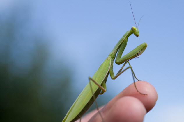 4-praying-mantis_000006912178_Small