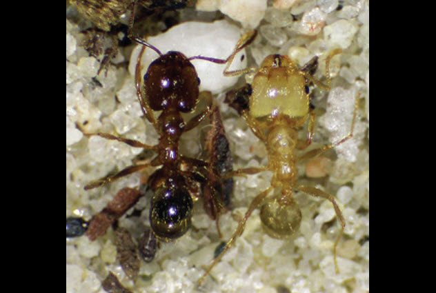 6-Pheidole_dentata-old-young