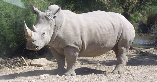 8-white-rhino