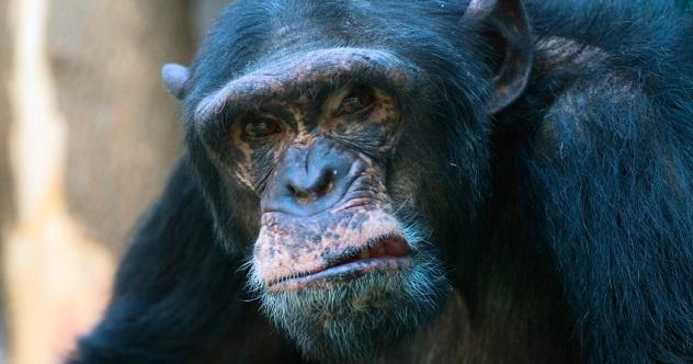 mean chimp