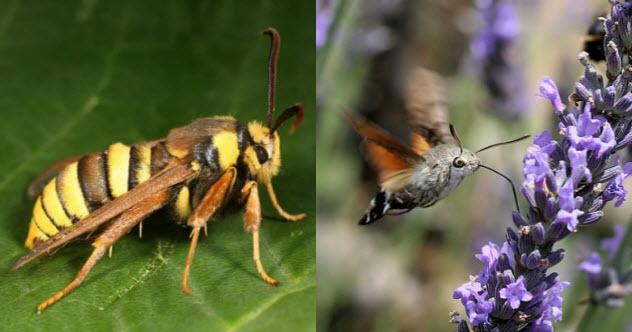 9-hornet-moth-hummingbird-hawk-moth
