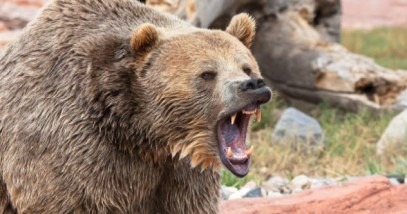 feature-grizzly-bear_000021763420_Small