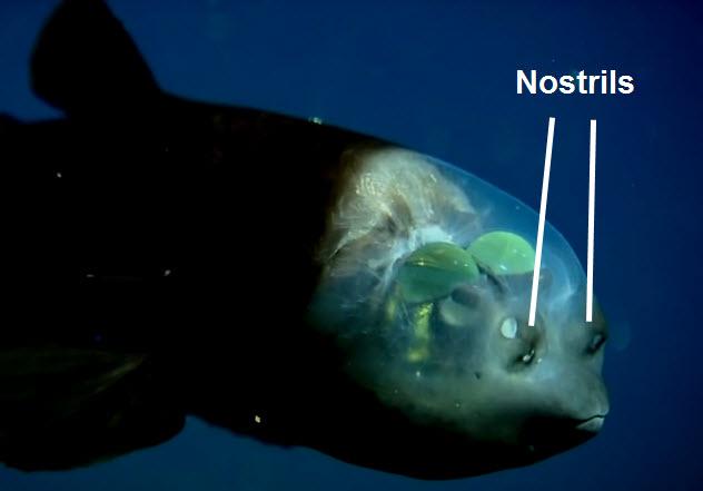 3-barreleyed-fish-nostrils