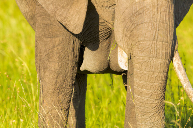 5-elephant-breasts_000039709892_Small