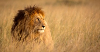 feature-c-3-lion_000077625407_Small