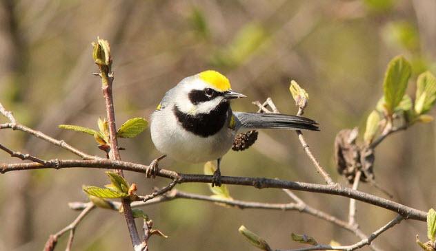 1-golden-winged-warbler