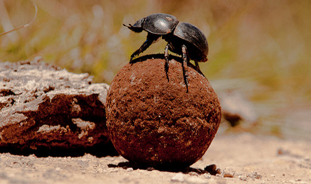 9-dung-beetle