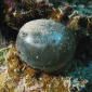 Bubble Algae Featured