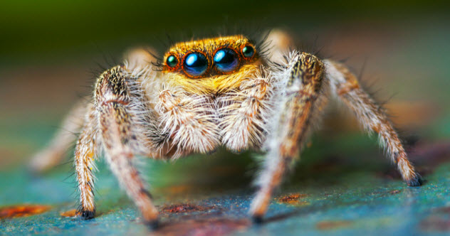 feature-a-jumping-spider_55808422_SMALL
