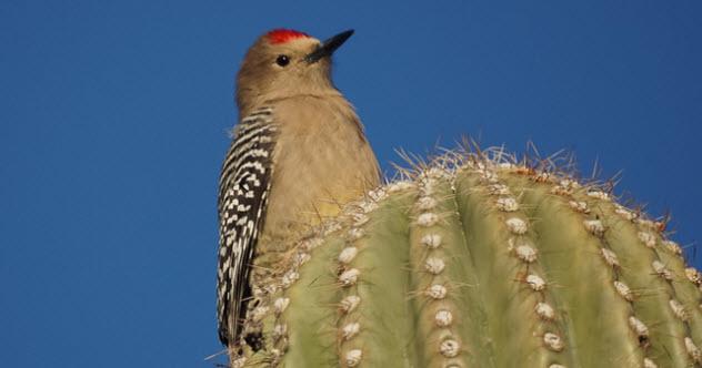 feature-4-gila-woodpecker