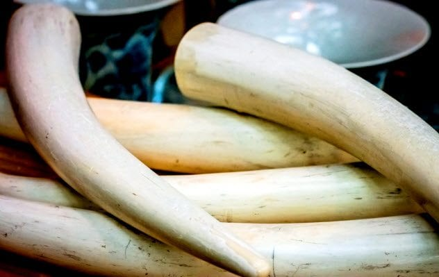 4a-elephant-tusks_75368451_small