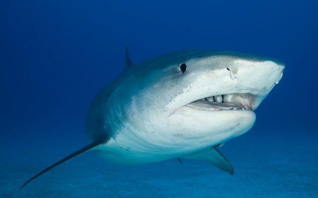 3a-tiger-shark_20768758_small