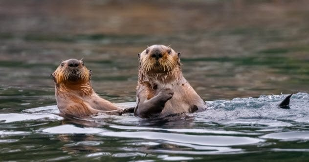 7a-sea-otters_81728097_small