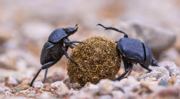 1b-dung-beetles-503489376