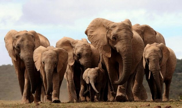 4-tuskless-african-elephants