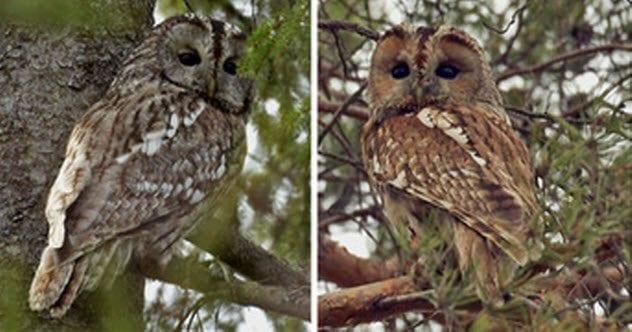 6-gray-owl-tawny-owl
