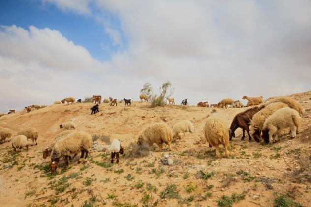 Israeli Sheep
