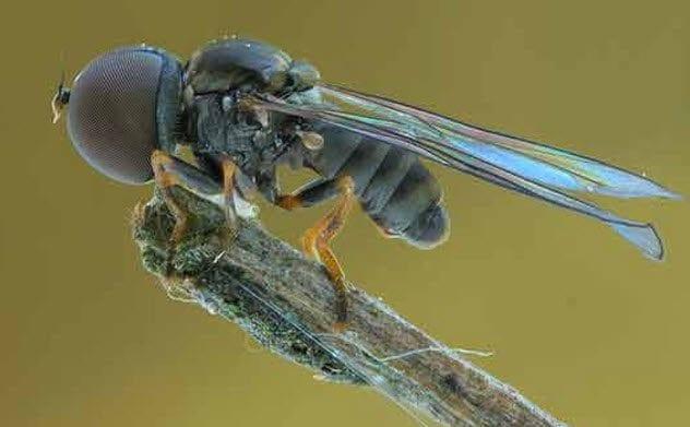 2-giant-eyed-fly