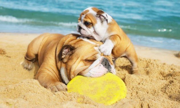 9a-bulldogs-on-beach-155252303