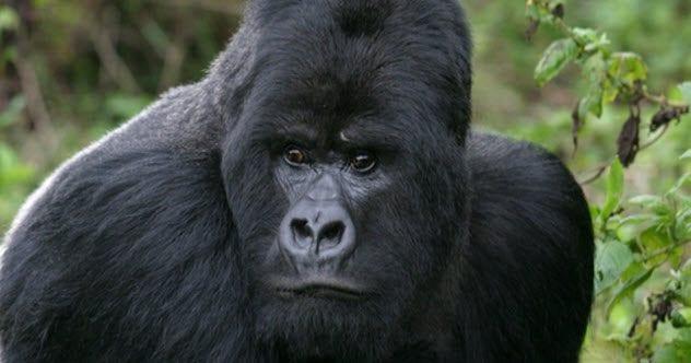 feature-b-gorilla-166141053