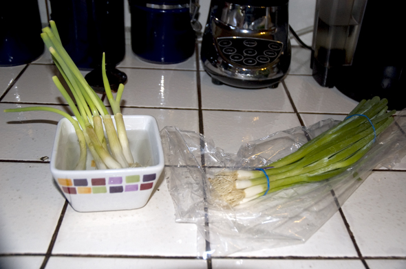 cut green onions growing