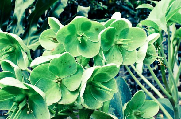green lenten roses