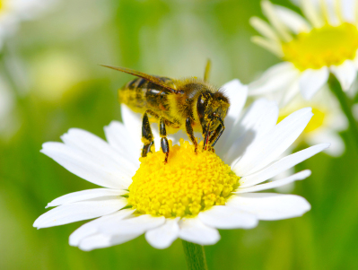 bee on a chamomile flower