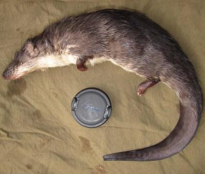 Giant Otter-Shrew