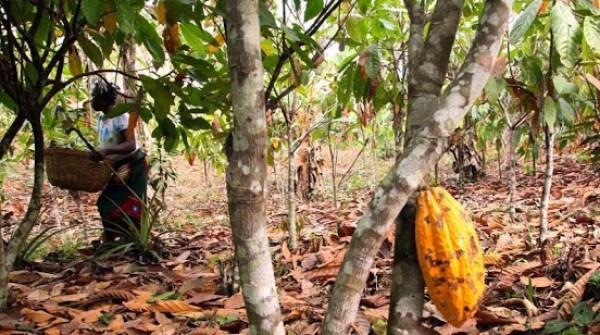 Cocoa plantation farm in Ondo State