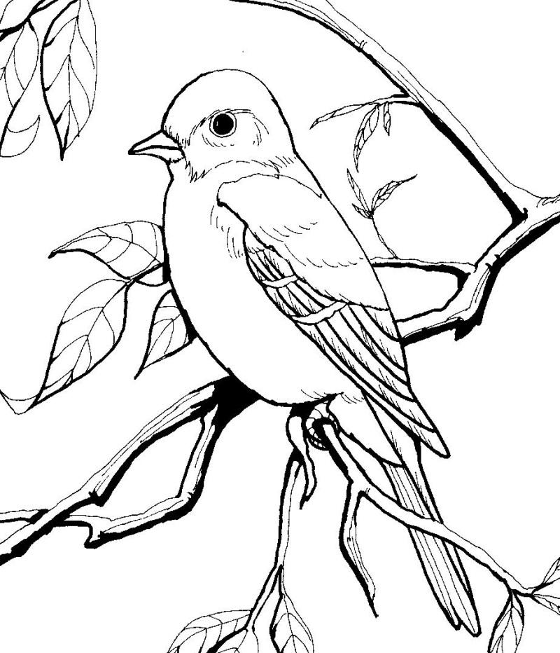 Immagini e disegni uccelli su pinterest colibr prima for Blue bird coloring pages