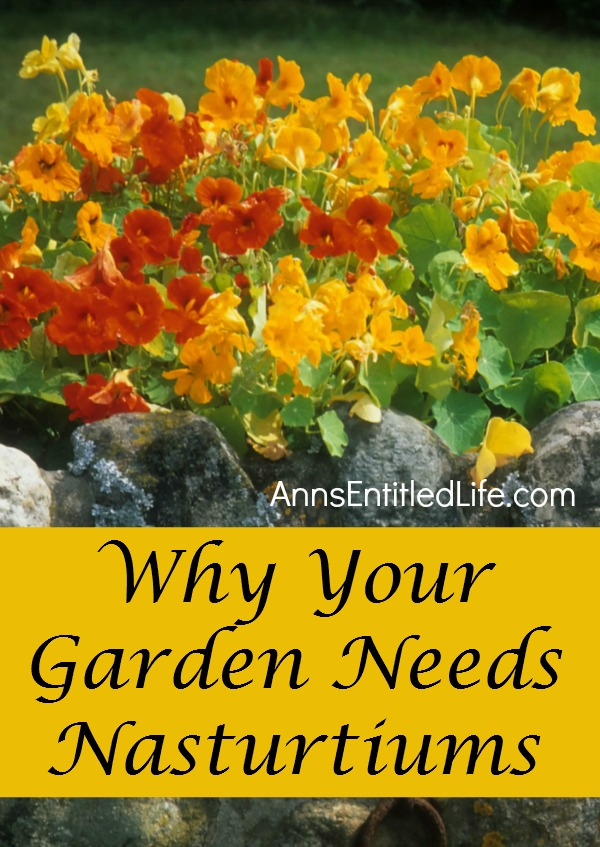 Nasturtiums - A Plant You Should Have in your Garden