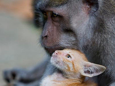吹くほど可愛い画像『子猫を育てるサル』