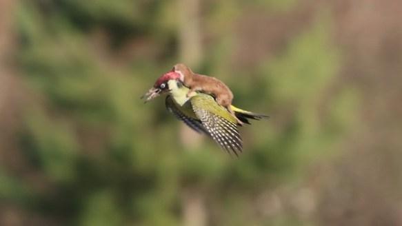 キツツキが背中にイタチを乗せて飛行する事案が発生 イタチに襲われた状態で飛んだらしい