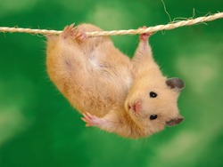Hang-In-There-Hamster-1600x1200
