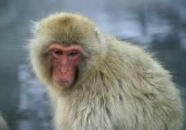 STAP細胞、すでに猿で臨床試験 細胞を移植した半身不随の猿の足が動く