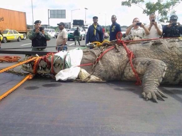 パナマ運河で捕獲された世界最大のワニwwwwwwwwwwwwww(画像あり)