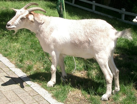 Goat_01