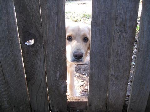 「あああぁ!家のフェンスを直そうとすると、隣の犬がこんな顔をする…どうしたらいいの?」
