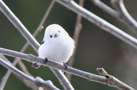 【萌え死に注意】 「シマエナガ」 という小鳥が反則級の可愛さwwwww (画像あり)