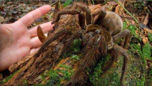 重さは子犬並み? ジャングルで世界一大きいクモを発見(画像)