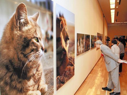 ネコは小さなライオン、ライオンは大きなネコ NHK・BS、世界のネコ歩きで有名な岩合光昭さんの写真展開催