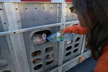 【カナダ】トラックで運ばれる豚に水を与えた女性を逮捕