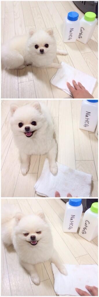 【画像】「これが天使か・・・」真っ白のポメラニアンが可愛すぎてヤバイwwwwwwwwwwwwwwwwwwwww