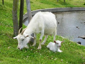 【茨城】盗んだヤギ乗せ走り出した男を逮捕