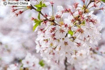 中国の専門家「桜は中国で生まれ、日本で発展した。韓国はまったく関係ない」