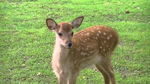 広島にある宮島での、子鹿に関する注意喚起が話題に! 「観光客の皆さん、産まれたばかりの子鹿を触らないで下さい。せっかく産まれたのに死ぬ」
