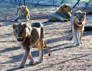 南アフリカでライオンをハンティング用に飼育していることが物議に・・「ハンティングはアフリカの文化だ!」