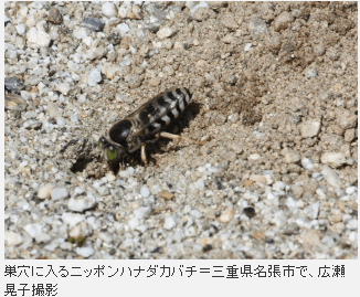 三重の小学校の校庭で絶滅の恐れがある「ニッポンハナダカバチ」が砂場に穴を掘って営巣しているのが発見される!